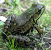 Green Frog by Fred Goodwin