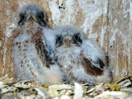 American kestrel chicks photo by Joey Mason