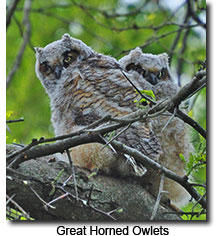 Great Horned Owlets at Mount Auburn