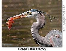 Great Blue Heron copyright George McLean