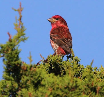 Male Purple Finch photo Mark Faherty