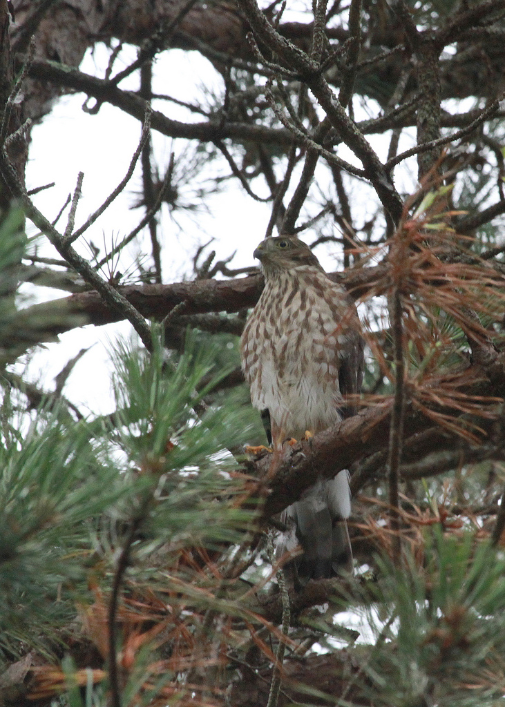 Sharp-shinned Hawk Fledgling_MFaherty