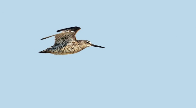 Short-billed Dowitcher by Ryan Schain