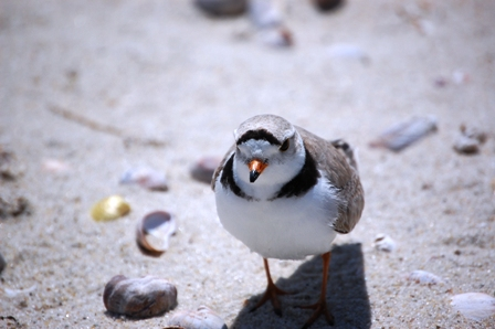 Piping Plover photo by Mark Faherty