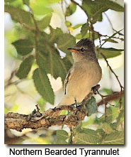 Northern Bearded Tyrannulet