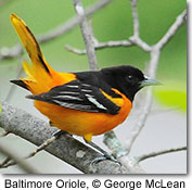 Baltimore Oriole, copyright George McLean