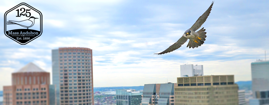 Peregrine Falcon flying in downtown Boston