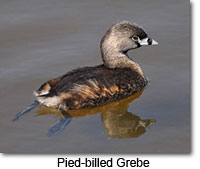Pied-billed Grebe, Henrietta Yelle