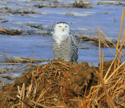 Snowy owl USFWS