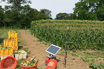 Sweet corn field rows