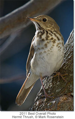 Hermit Thrush, Copyright Mark Rosenstein